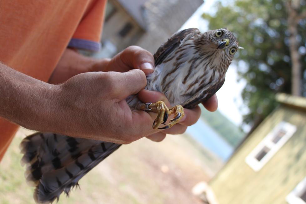Bird banding 1